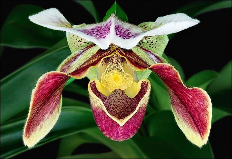 Red and Yellow Lady Slipper Orchid