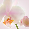 Pink Orchid Closeup