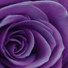 Purple Rolls