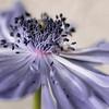Lilac Twirl