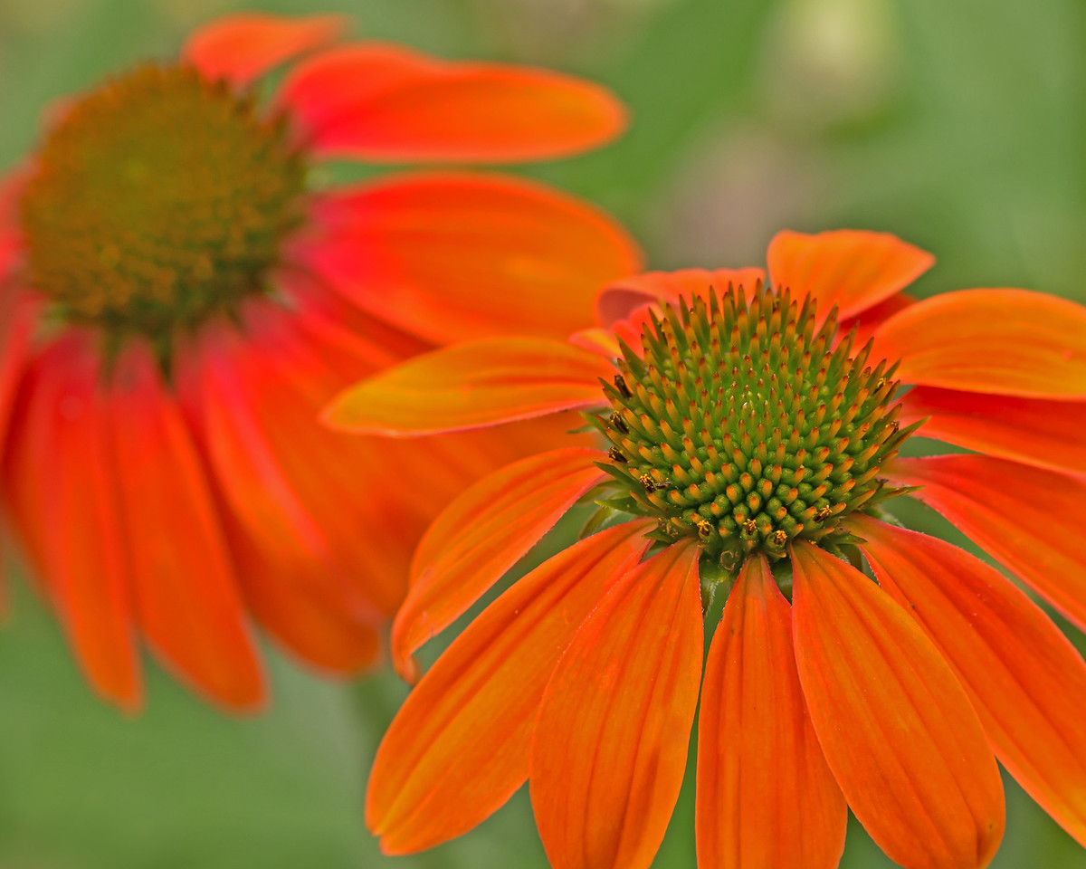 Orange Coneflowers