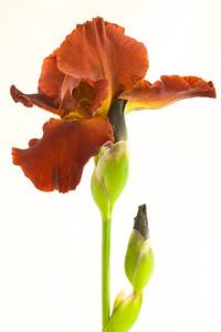 Bronze Iris