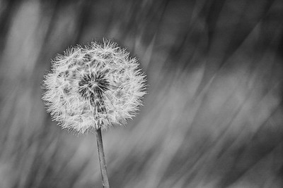Dandelion Wish Black and White