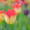 Yellow and Red Tulip at Skagit