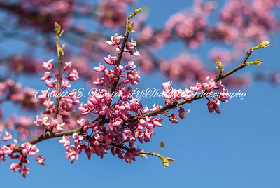"""Eastern Redbud"", Hillen Rd at Lake Montebello, Baltimore MD"