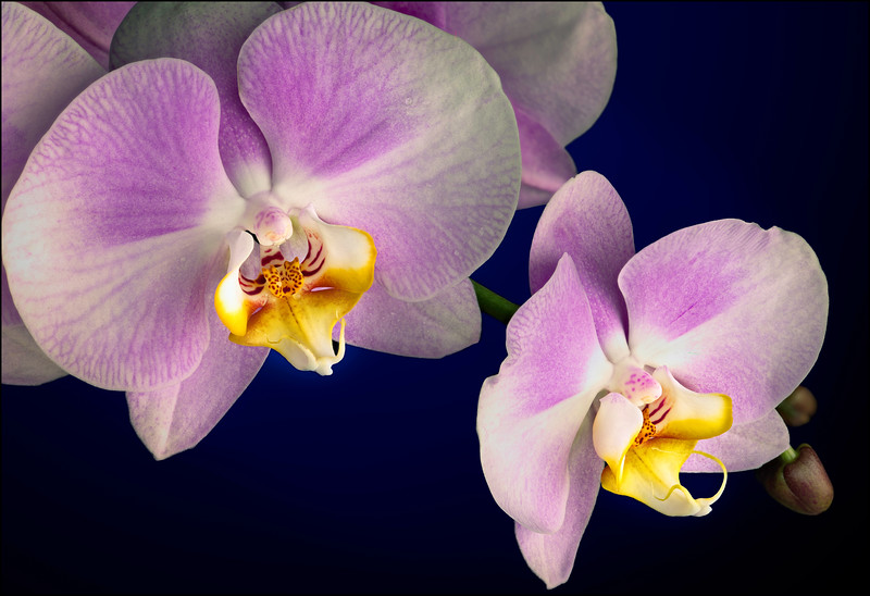 Lavender Phalaenopsis Orchids