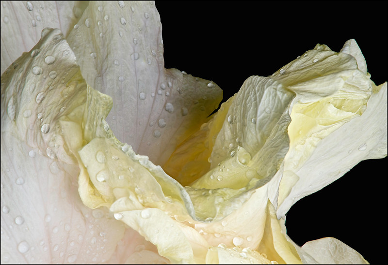 White Hibiscus Leaf Edge with Raindrops