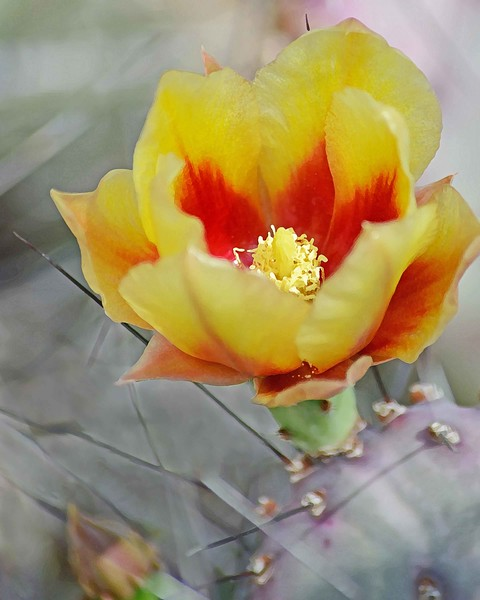 Prickly Pear 2155a1wc