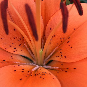 Orange Lily Close-up