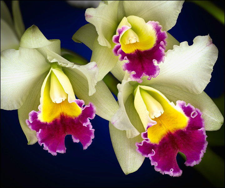 Newly Blossomed White and Purple Cattleya Orchids