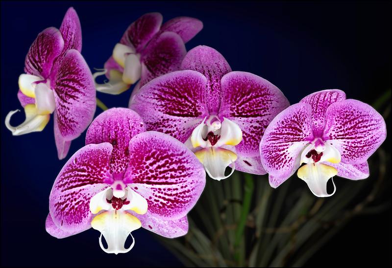 Pink Variegated Phalaenopsis