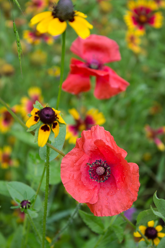 Red Poppies and Black-eyed Susans