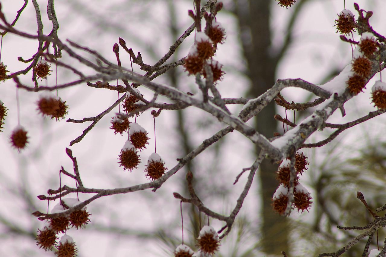 Snow on Sweet Gum Tree