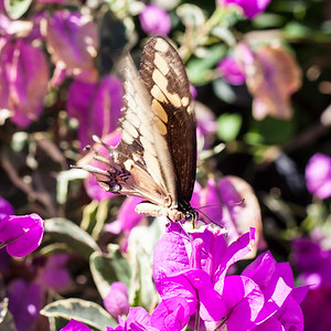 Butterfly on Purple Bougainvillea