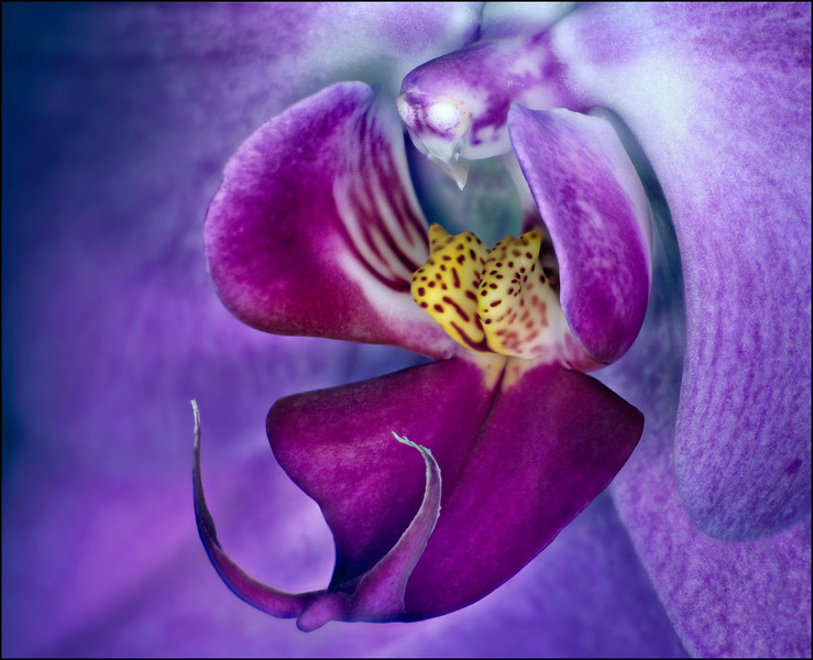 Heart of a Purple Phalaenopsis