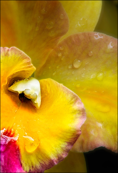 Yellow Cattleya Orchid in the Rain