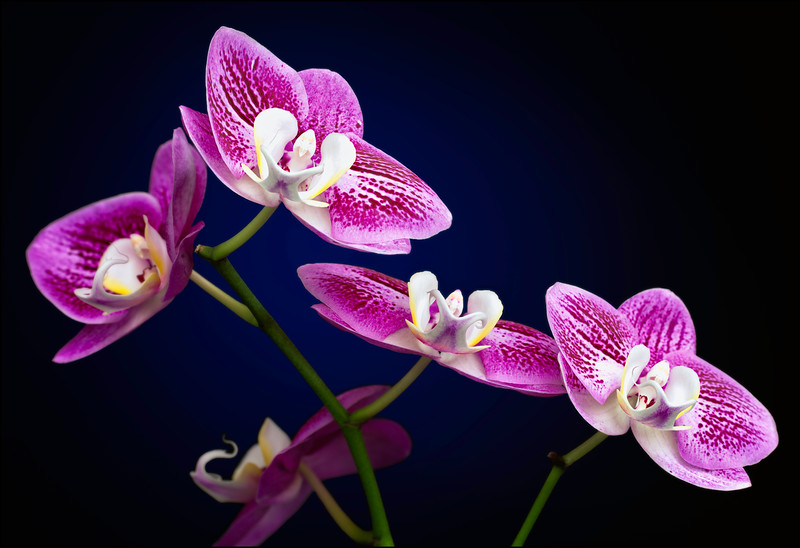 Pink Variegated Phalaenopsis Searching for Light