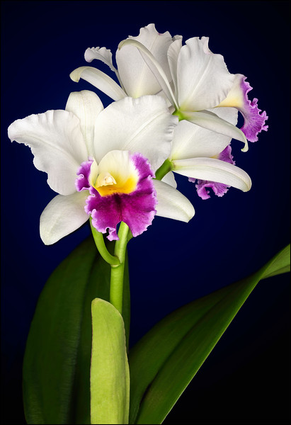 White and Purple Cattleya Orchid Stalk