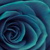 Cerulean Rose