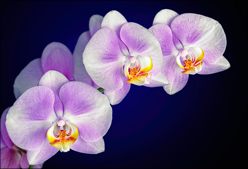 Lavender Phalaenopsis Orchid Branch