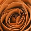 Rusty Rose