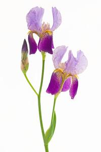 Raji's Iris