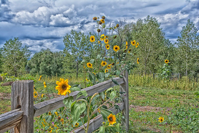 Sunflowers On A Fence