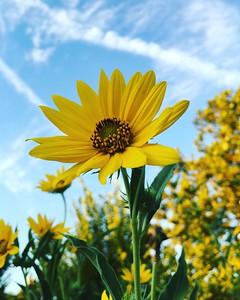 Ozark Sunflower (Helianthus silphioides)