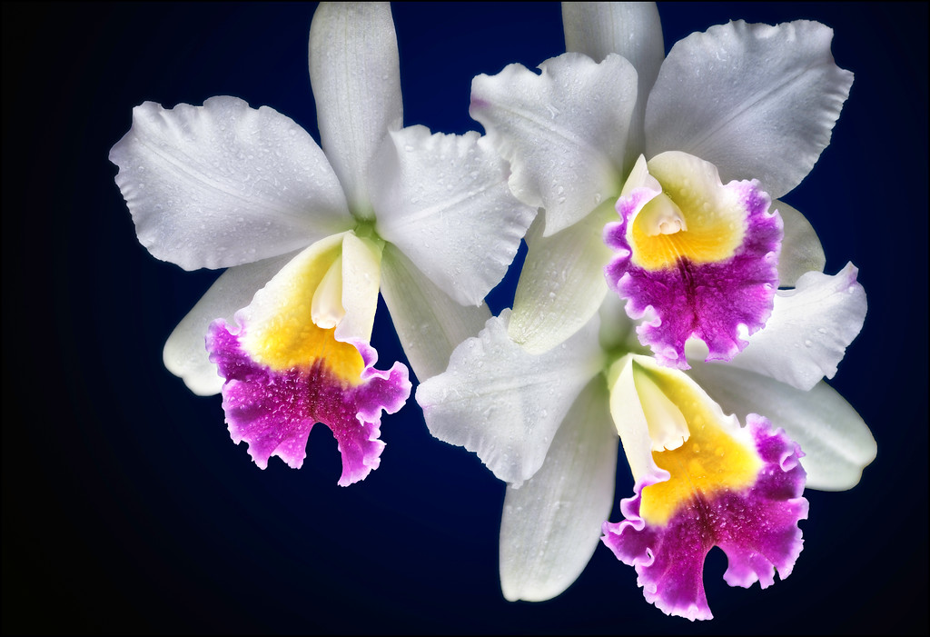 3 White and Purple Cattleya Orchids in the Mist