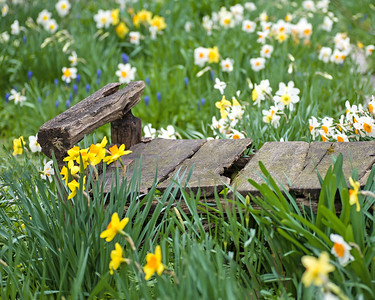 Bench with Daffodils