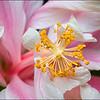 Arlene's Hibiscus