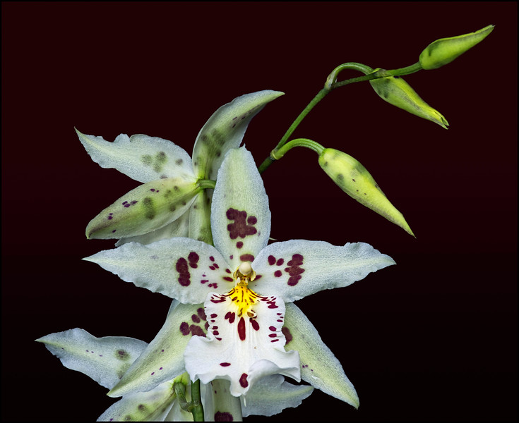White Oncidium Orchids