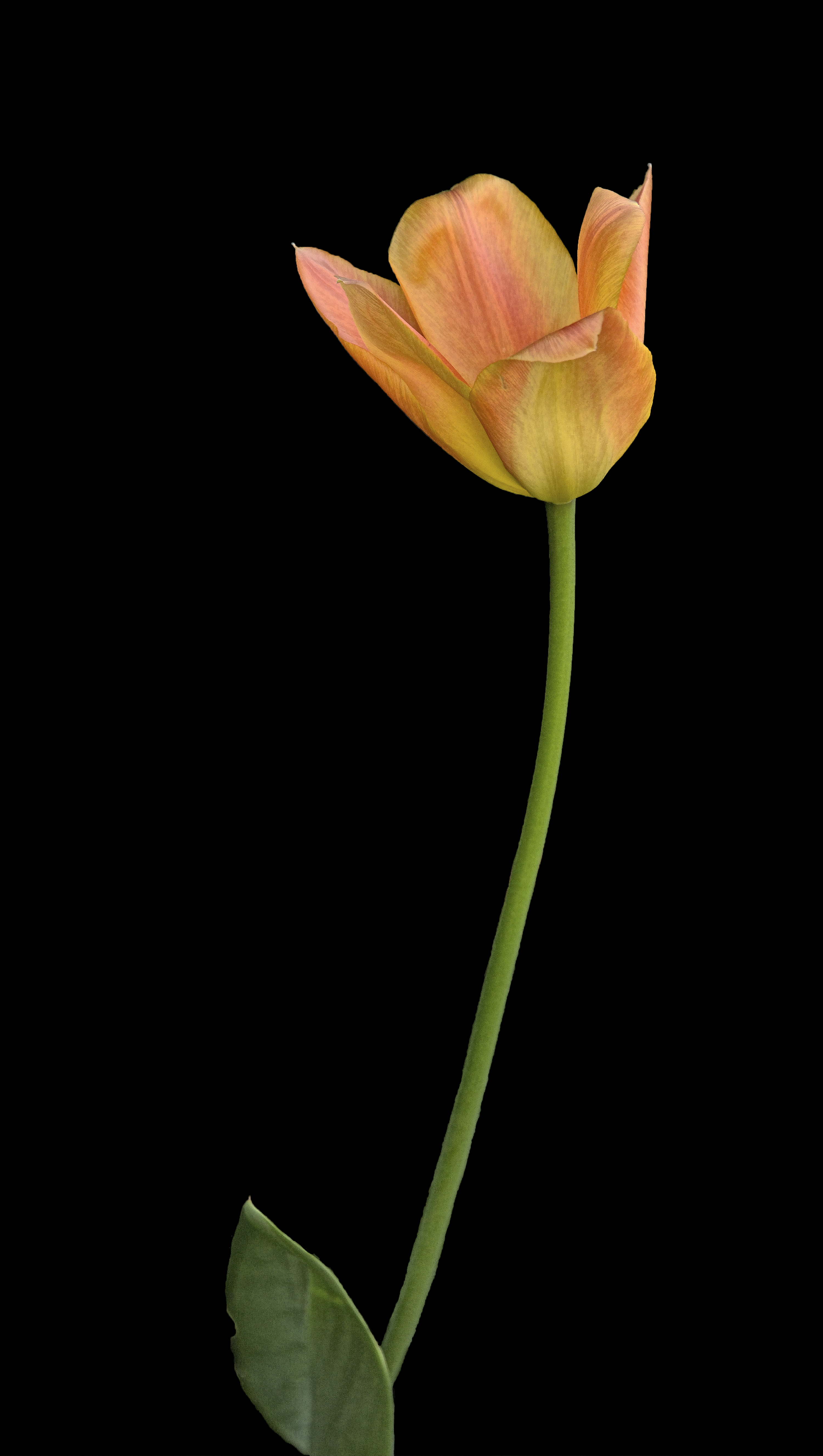 Singular Tulip