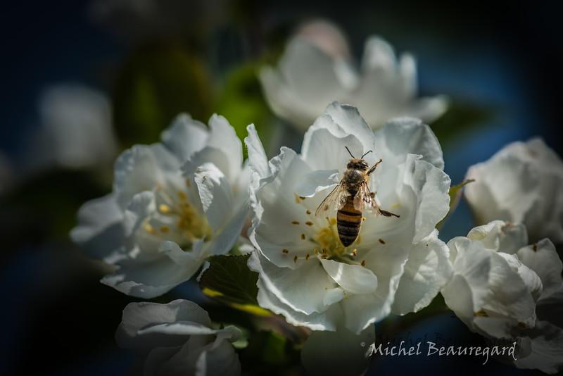 Fleurs de pommier 2