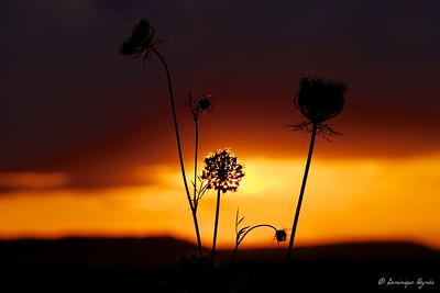 Fleur-soleil