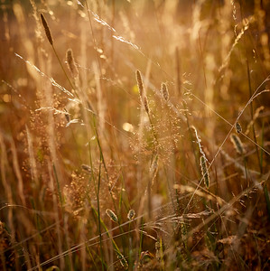 Petites herbes au couchant
