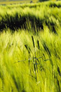 Le premier blé