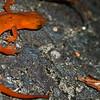 Salamander in DAR State Park