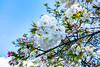 Blossoms near Lake Burly Griffin<br /> #canberra #cbr #flowers #blossoms #sonycybershot #spring