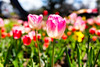 Floriade tulips<br /> #canberra #cbr #flowers #tulips #sonycybershot #spring #floriade #visitcanberra #igerscanberra