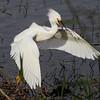 Snowy Egret with attitude