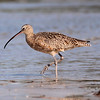 Whimbrel on Bunche Beach, Ft. Myers, FL