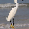Snowy Egret on Ft. Myers Beach, FL