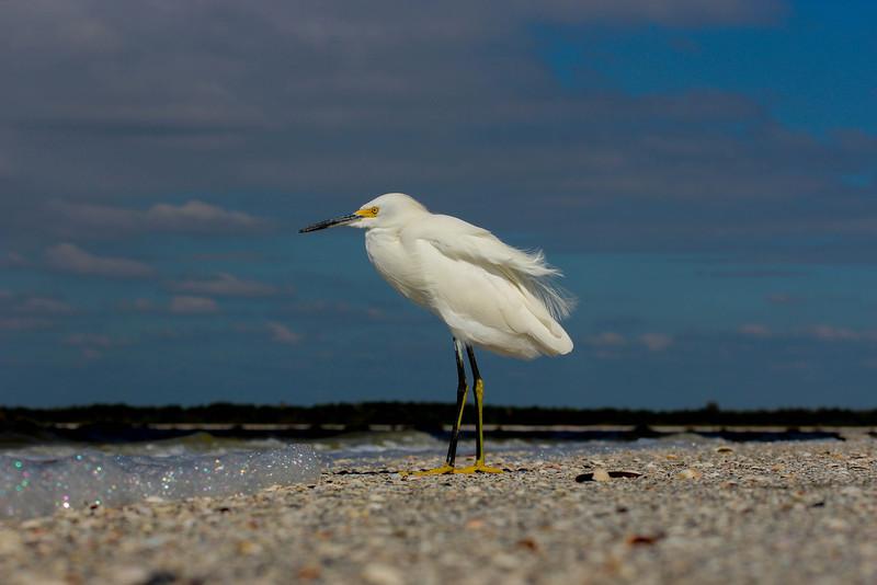Snowy Egret on Ft Myers Beach