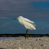 Snowy Egret on Ft Myers Beach