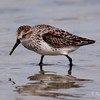 Western Sandpiper on Ft. Myers Beach