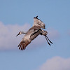 Sanhill Crane in flight