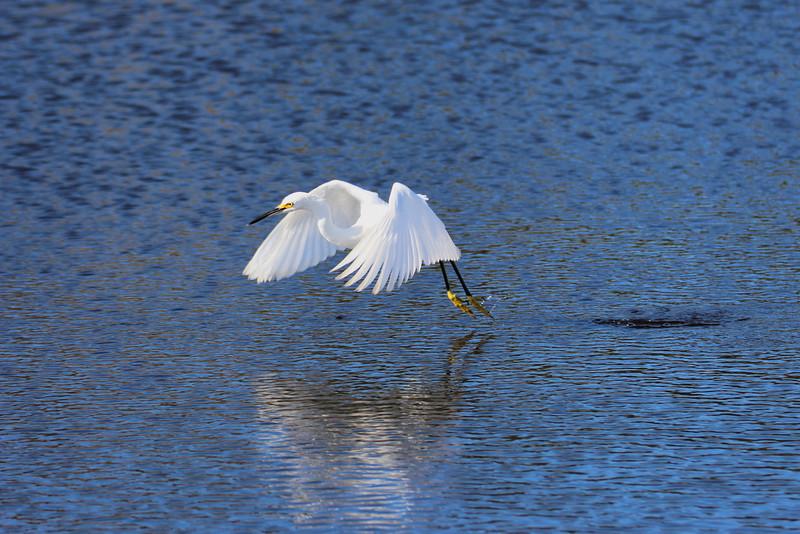 Snowy Egret at Myakka River State Park, Sarasota, Fl