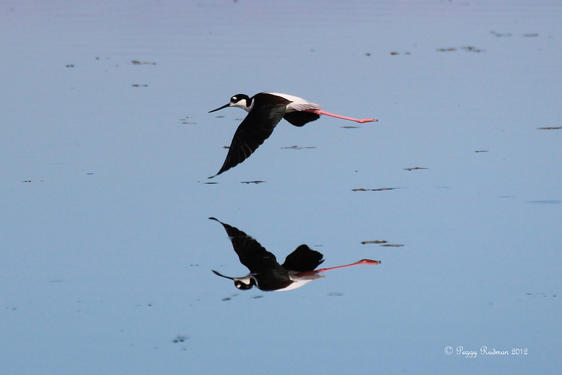 Black-necked Stilt at Myakka River State Park, Sarasota, Fl.