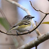 Blue-headed Vireo at Corkscrew Swamp Sanctuary, Naples, FL